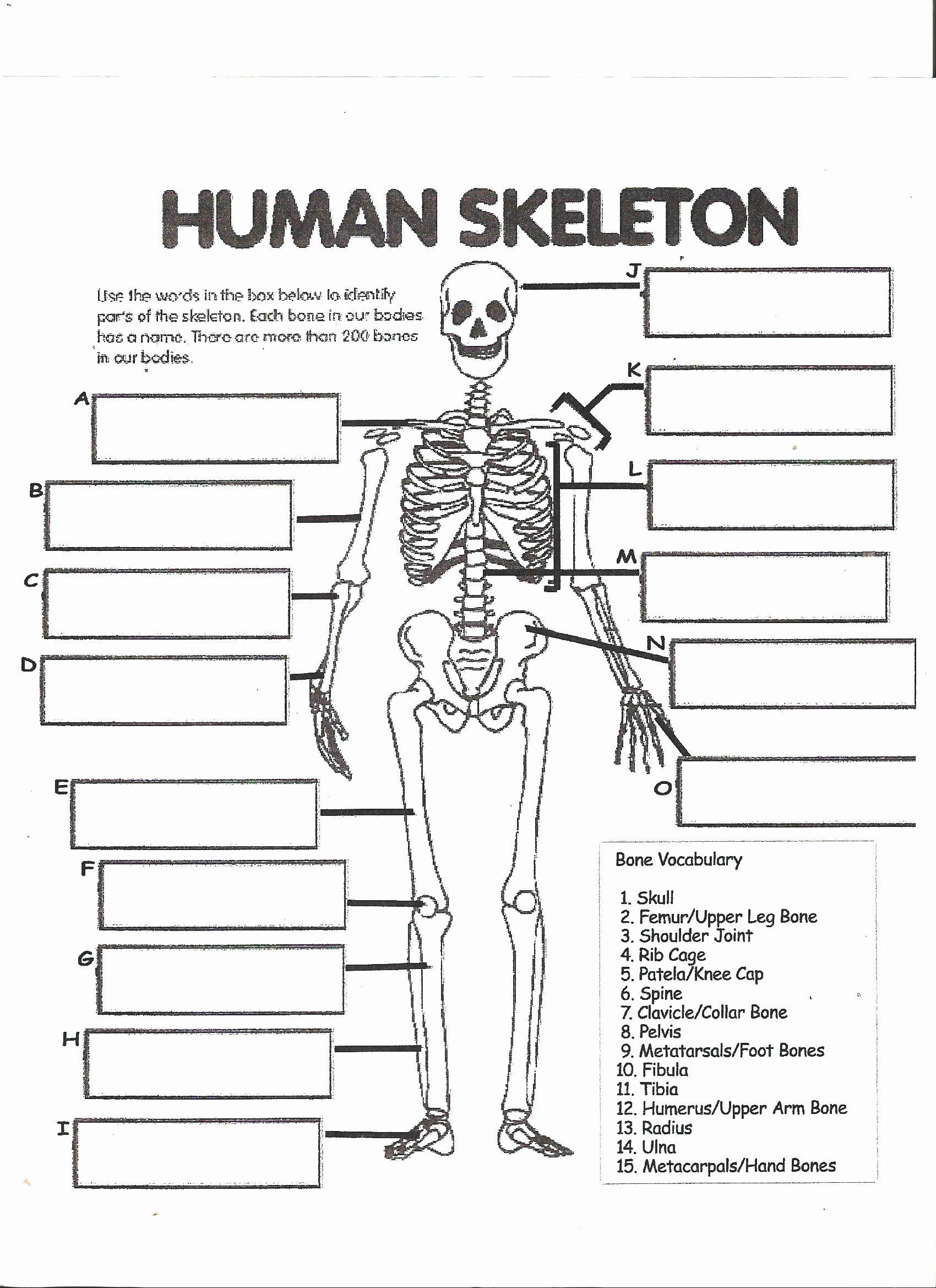 Skeletal System Labeling Worksheet Fresh Human