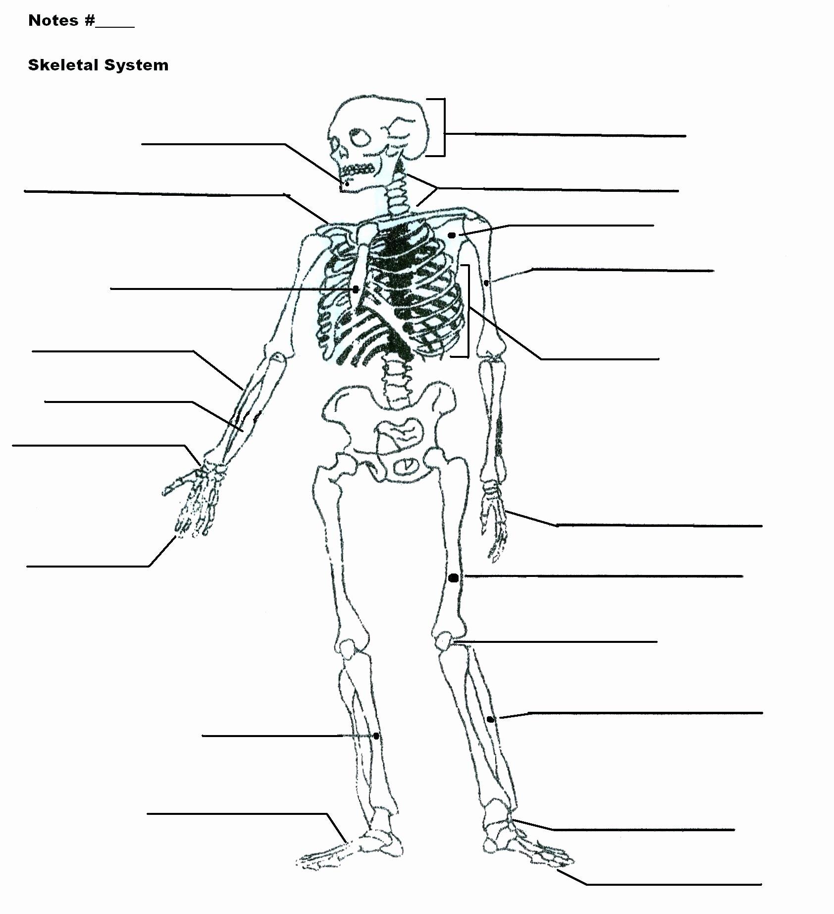 50 Skeletal System Labeling Worksheet