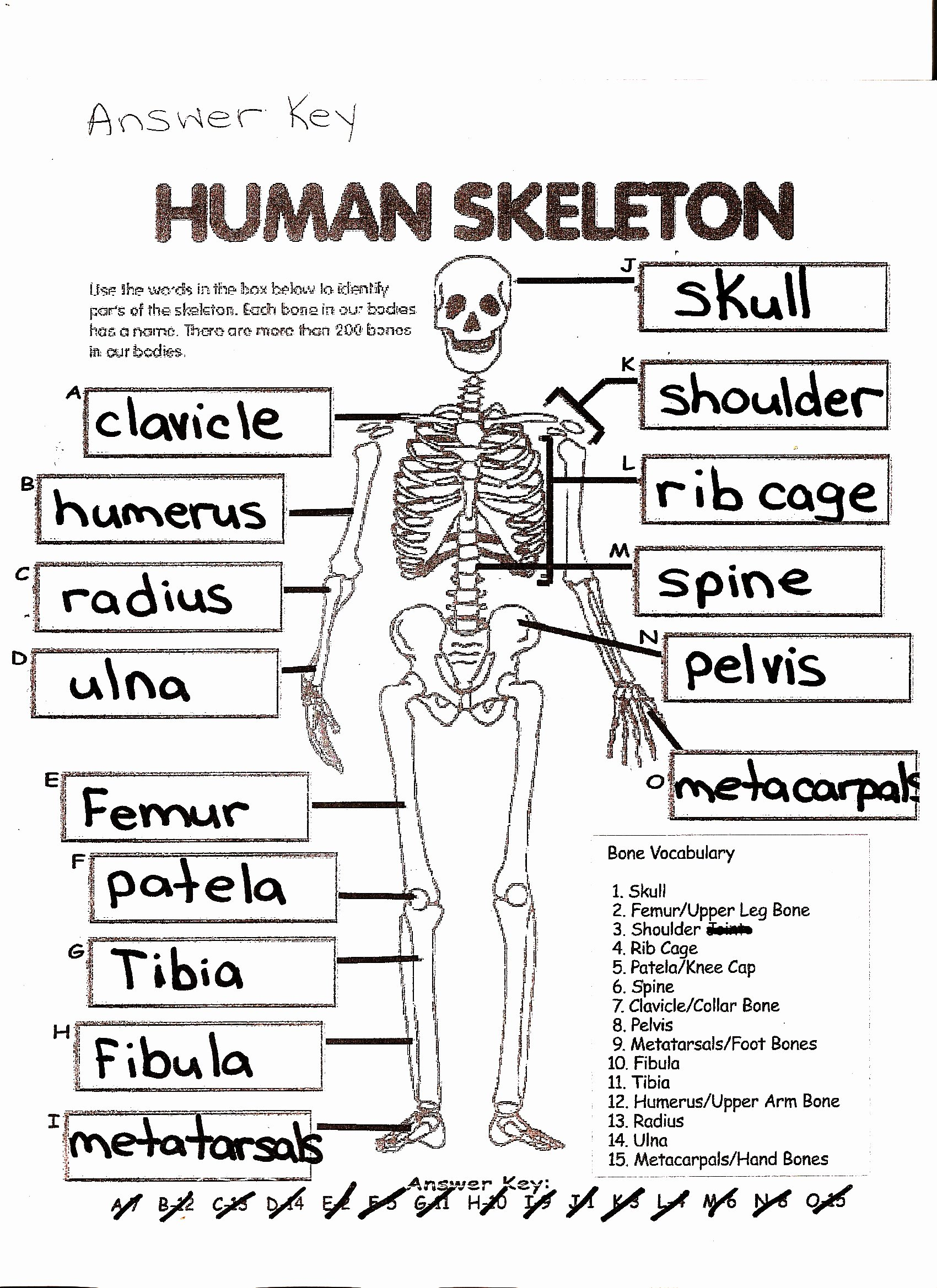 50 Skeletal System Worksheet