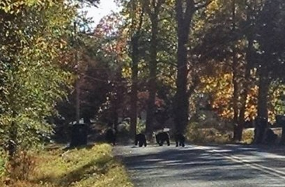 Black bears on Glenmere Road