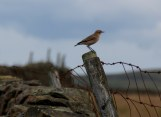 Cock wheatear sitting on post