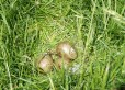 Curlew eggs in nest