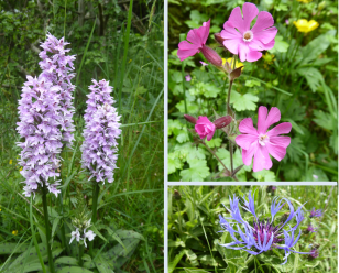 Spotted orchid, red campion, cornflower