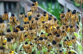 Rudbeckia seeds are loved by finches