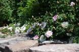 june-18th-tangled-garden-imgp2396