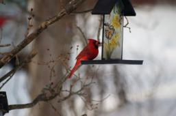 This Northern Cardinal spent the winter here