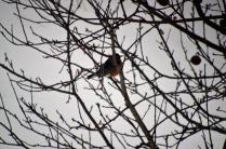 There are a few apples left for this Robin