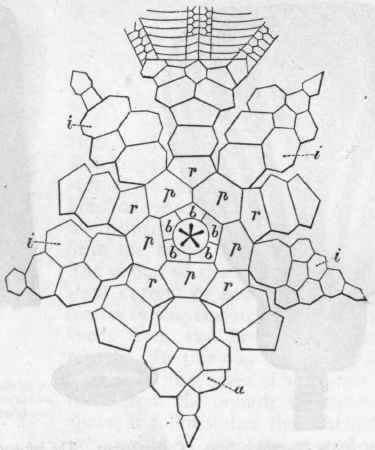 Crinoidea, Cystoidea, And Blastoidea. Order Crinoidea. Part 2