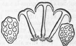 Chapter XXI. Holothuroidea. Order Holothuroidea