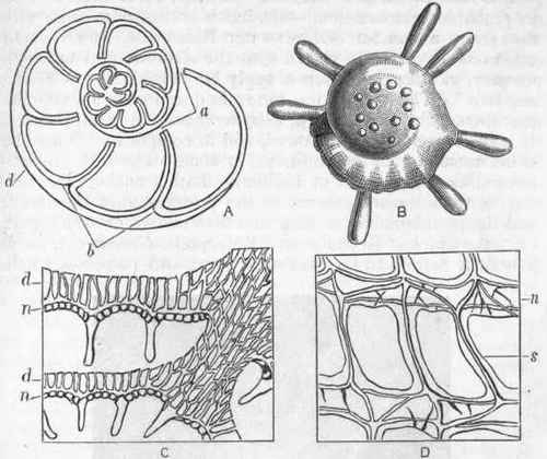 Foraminifera. Order III. Foraminifera. Continued