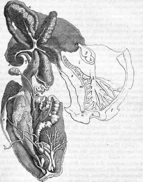 Gasteropoda (Cuvier). Part 4