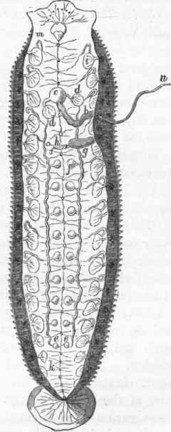 Annelida. Part 5