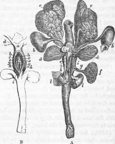 Mammalia. Part 33