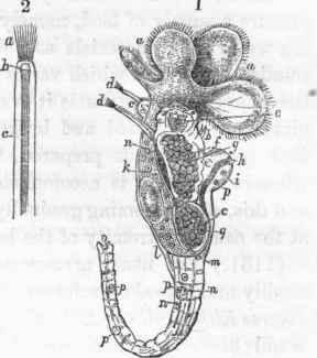 Rotifera (Ehrenberg). Part 4