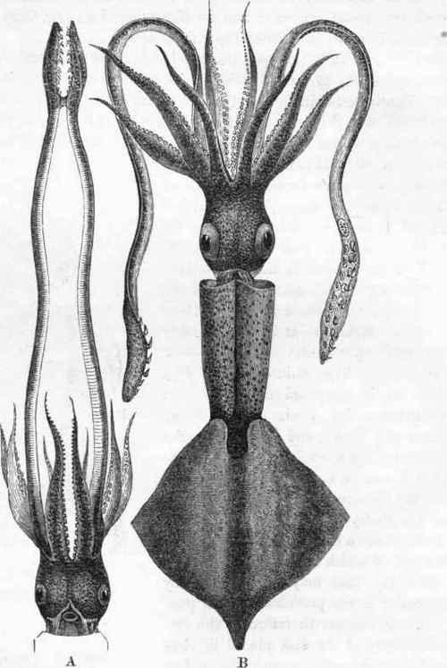 Cephalopoda (Cuvier). Part 2