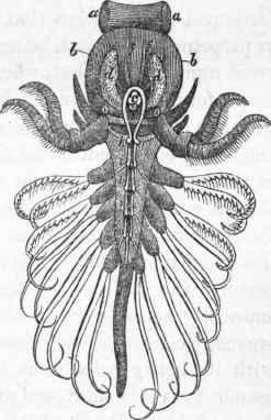 Cirrhopoda. Part 2