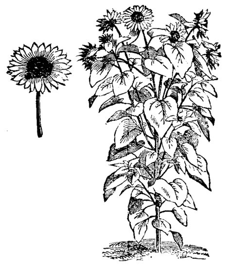 sunflower growth chart coloring pages
