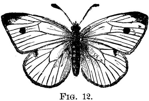 The Cabbage Butterfly. Pieris Rapae (Linn.)