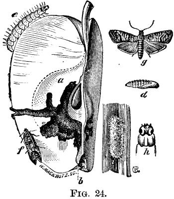 The Codling Moth. Carpocapsa Pomonella (Linn.)