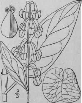 3. Rumex L. Sp. Pi. 333. 1753. Part 2