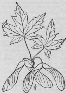 1. Acer [Tourn.] L. Sp. Pl. 1055. 1753