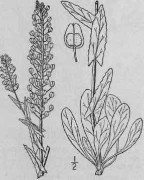 17. Lepidium [Tourn.] L. Sp. Pl. 643. 1753