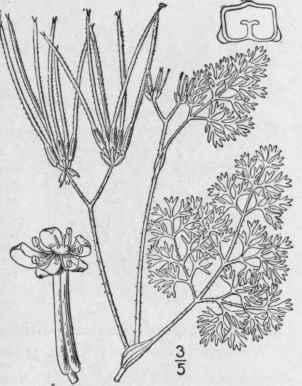 2. Sanícula L. Sp. Pl. 235. 1753. Part 4
