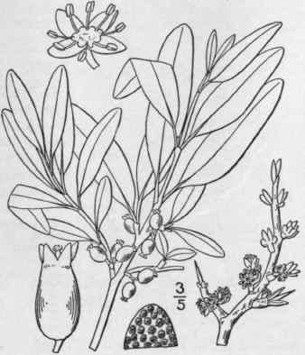 2. Lepargyraéa Raf. Am. Month. Mag. 2: 176. 1817