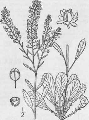 17. Lepidium [Tourn.] L. Sp. Pl. 643. 1753. Continued