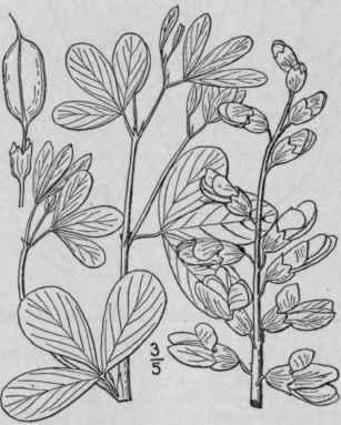 4. Baptísia Vent. Dec. Gen. Nov. 9. 1808. Continued