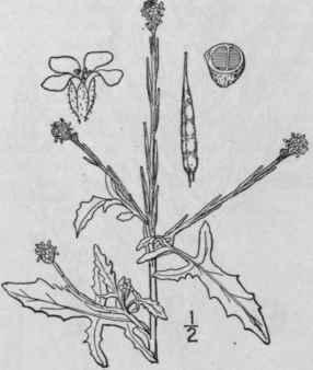 26. Erysimum [Tourn.] L. Sp. Pl. 660. 1753