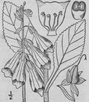 25. Digitalis [Tourn.] L. Sp. Pl 621. 1753