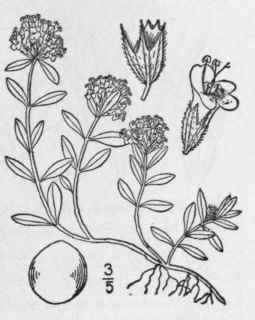 32. Thymus [Tourn.] L. Sp. Pl. 590. 1753