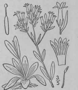 1. Centaurium Hill. Brit. Herb. 62. 1756. [Erythraea Neck