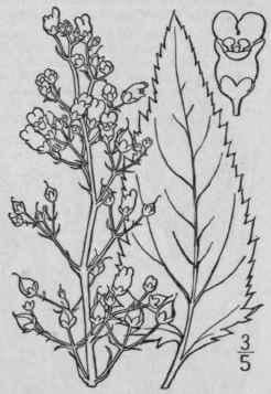 7. Scrophularia [Tourn.] L. Sp. Pl. 619. 1753
