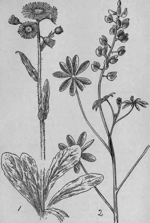 Robin's Plantain