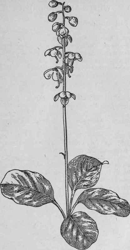 Shin Leaf
