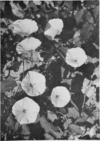 Field Bindweed (Wild Morning Glory).