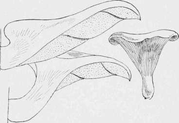 A Warning Tang. The Oyster Mushroom. Agaricus Ostreatus