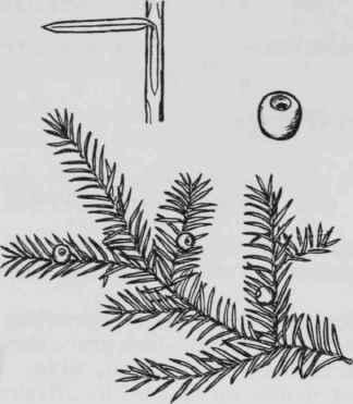 Descriptions Of Genera And Species Of Woody Plants. Taxus