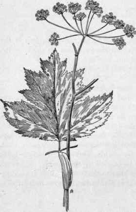 Cow Parsnip. Heracleum Lanatum, Michx. Woolly Parsnip