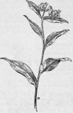 Comfrey. Symphytum Officinale, L. Healing-herb, Knit-back