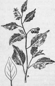 Common, Or Black, Nightshade. Solatium Nigrum, L. Deadly