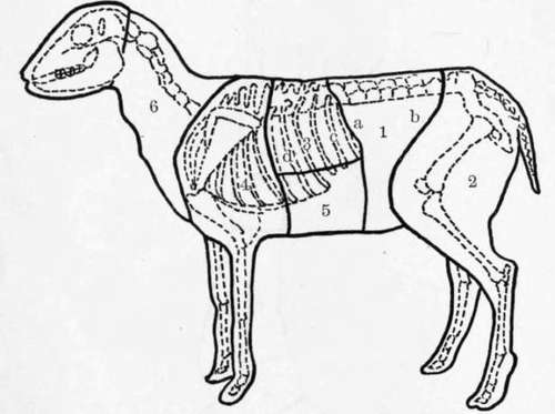 sheep skeleton diagram 1981 honda cb750 custom wiring