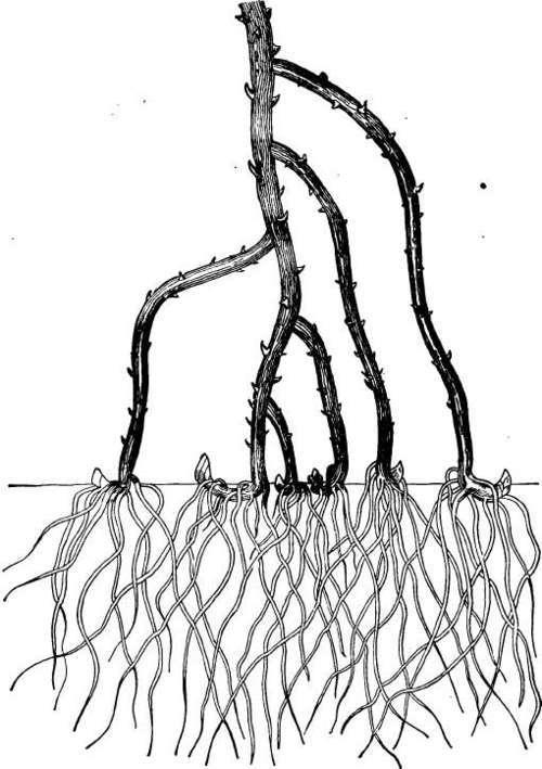 242. The Black-cap Family (Rubus occidentalis)