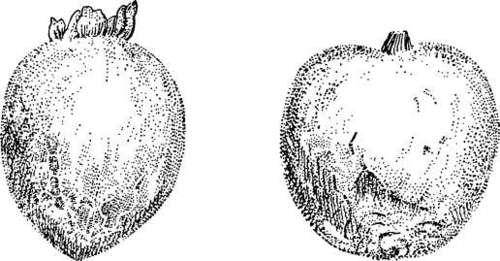 Japanese Persimmon Varieties