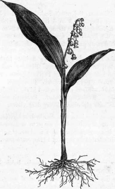 27. Convallaria