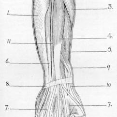 Forearm Bones Diagram Panel Wiring Of Hand Great Installation The Upper Limb Muscles Bone Left