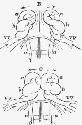 Blood-Vascular System