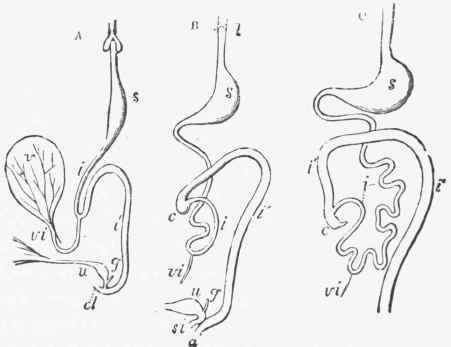 The Alimentary Canal And Its Appendages